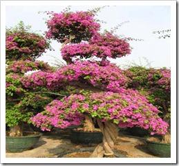 زراعة نبات الجهنمية(المجنونة Bougainvillea 167691_1694844501239_1541637130_1601593_1213874_n_thumb[3].jpg?imgmax=800
